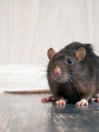 Mice & Rat Treatments